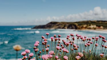 Cluster of Pink Flowers Growing at the Ocean's Edge, Portugal