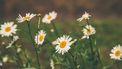 bloemetjes in een grasveld