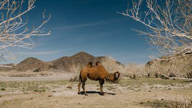 kameel staat in een droog gebied