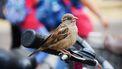 Vogel die anders zingt door de coronamaatregelen