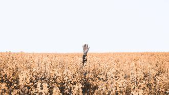 hand steekt uit maisveld