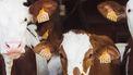koeien naast elkaar
