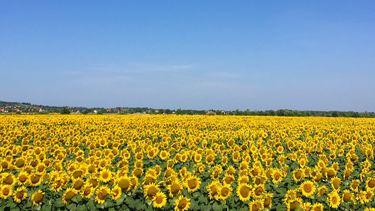 Veld met zonnebloemen