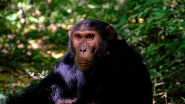 Chimpansee in het oerwoud