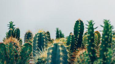 cactussen goed voor gezondheid planten