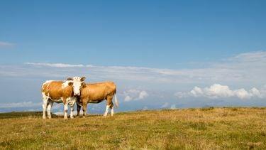 koeien in een weiland