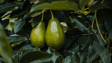 avocado aan boom