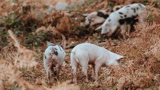 varkens buiten