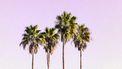 palmbomen op roze lucht