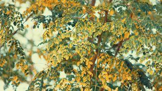 Moringa wonderboom