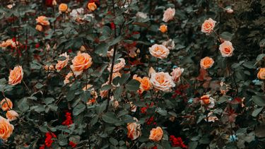 rozenveld