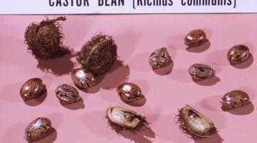 Ricinus communis