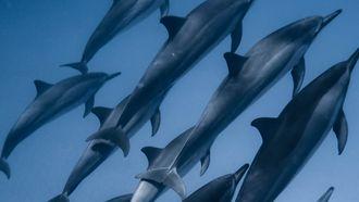 Dolfijnen die vervangen worden door robotdolfijnen