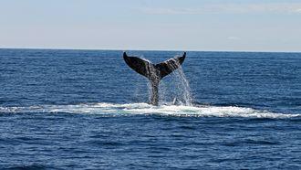 walvisstaart steekt uit de zee