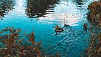 eend in water
