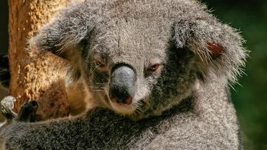 Een koala in een Australisch bos