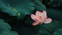 lotusbloem met bladeren