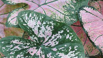 roze planten