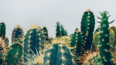 cactussen milieu