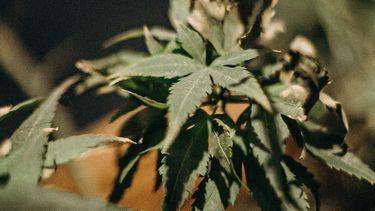wietplant