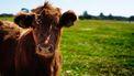 koe in de wij