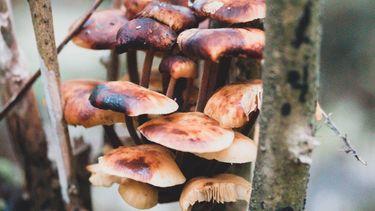 mushrooms in bos