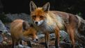 Twee vossen die blij zijn met de wet van Hongarije