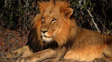 lion king lessen