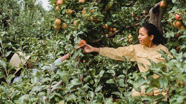 vrouw plukt fruit uit boom